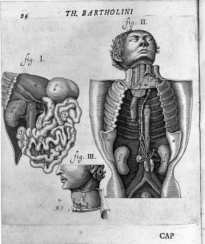 Thomas Bartholin e il sistema linfatico