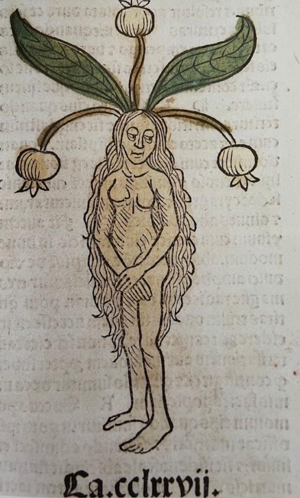 mandragola femmina