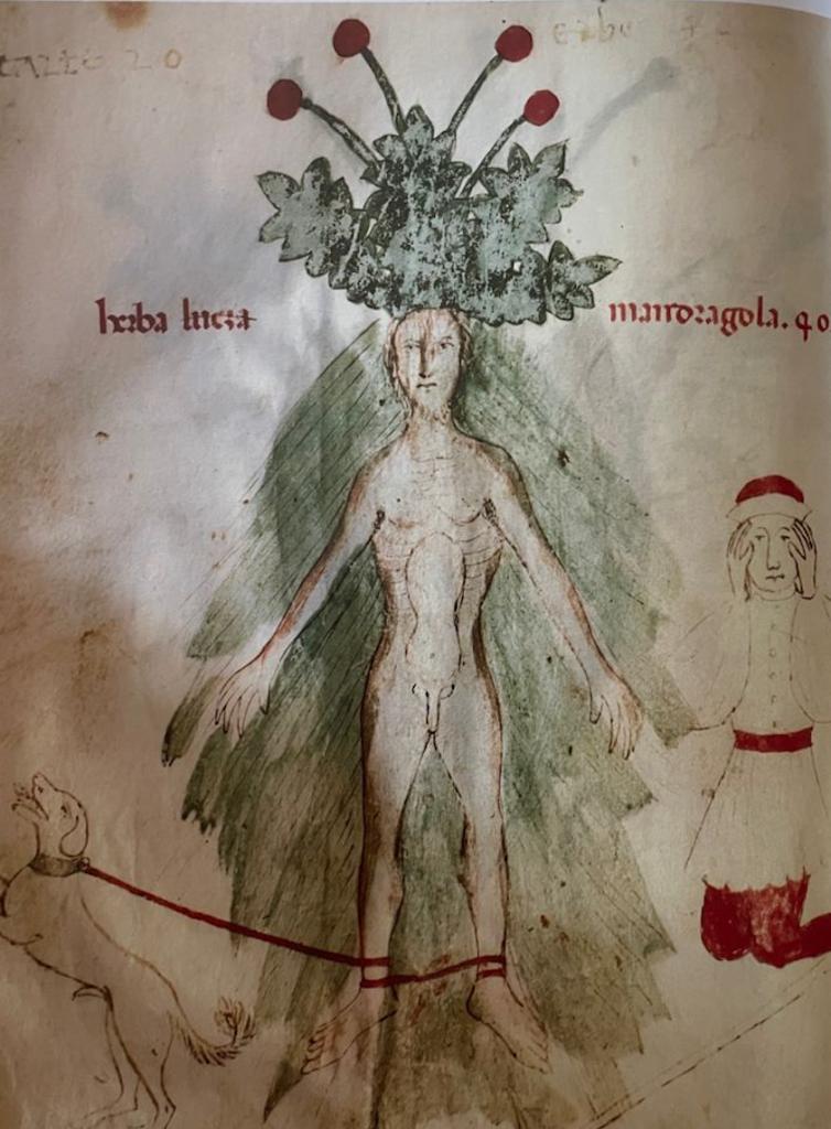 Mandragola Maschio. Herbarium Biblioteca Universitaria di Pavia XIV secolo